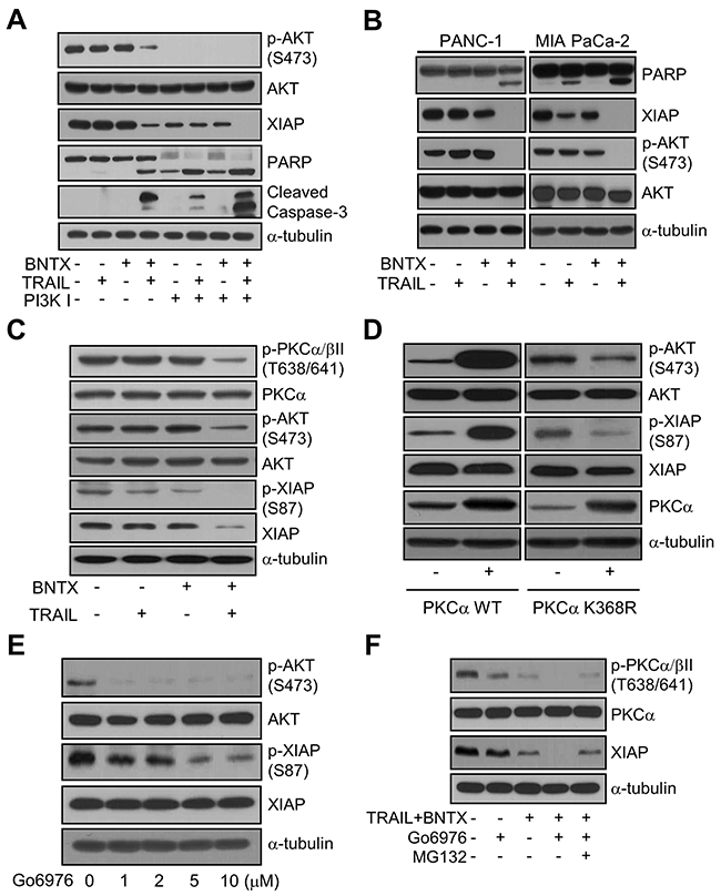 BNTX promotes XIAP downregulation by inhibiting the PKCα/AKT signaling pathway in TRAIL-treated AsPC-1 cells.