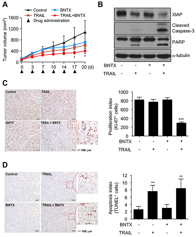 Combined treatment with BNTX and TRAIL induces tumor regression in a xenograft model.