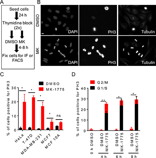 Inhibition of Wee1 kinase promotes premature entry into mitosis.