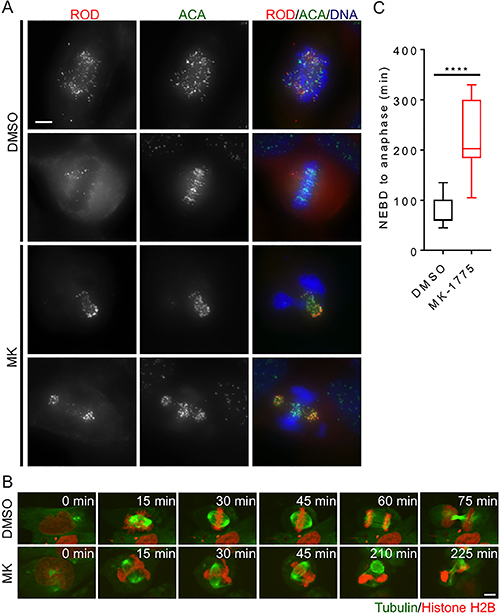 Inhibition of Wee1 induces centromere fragmentation and prolonged mitosis.