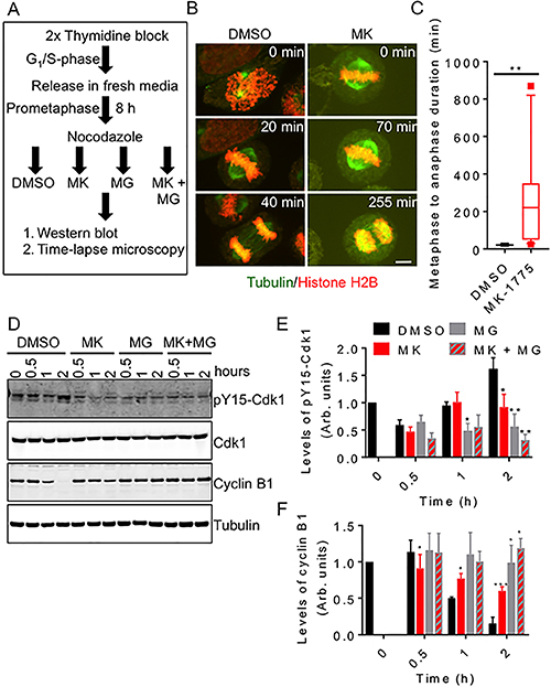 Inhibition of Wee1 prevents normal mitotic exit.