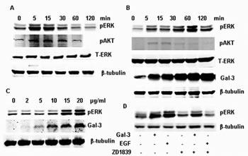 FIGURE 1: Phosphorylation of ERK1/2 induced by EGF and Gal-3 in HeLa cells.