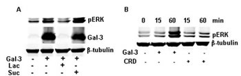 FIGURE 2: Gal-3 induced the phosphorylation of ERK1/2 dependent on its CRD.