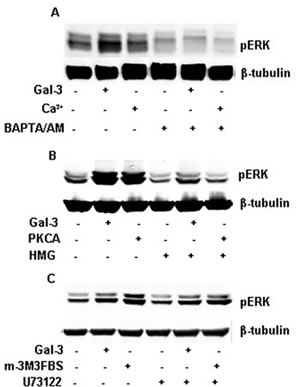 FIGURE 4: Gal-3 activated PKC, not PLC through intracellular calcium ions.