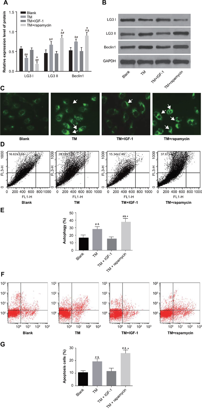 ERS promotes autophagy and apoptosis in U266 cells through inhibition of the PI3K/Akt/mTOR signaling pathway in the blank, TM, TM + rapamycin and TM + IGF-1 groups.
