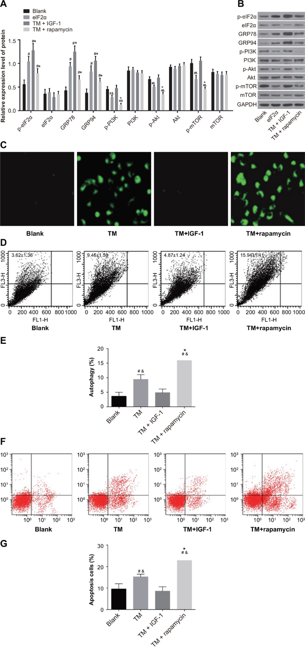 ERS reverses the drug resistance of MOLP-2/R cells by inhibiting PI3K/Akt/mTOR signaling pathway in the blank, TM, TM + rapamycin and TM + IGF-1 groups.