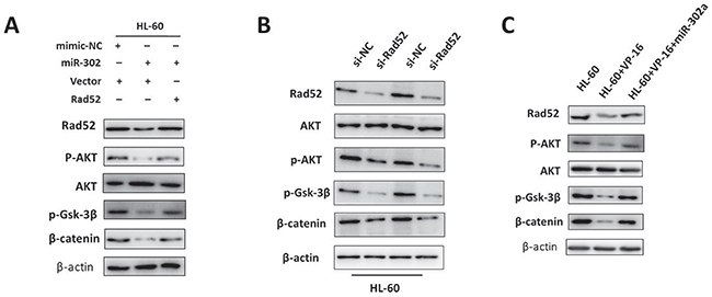 Downregulation of Rad52 by miR-302a suppresses cell proliferation and chemoresistance, in part by activating the AKT/Gsk-3β/β-catenin cascade.