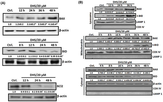 DHS increases BAX/BCL2 ratio and induces BID cleavage in IMR32 cells.