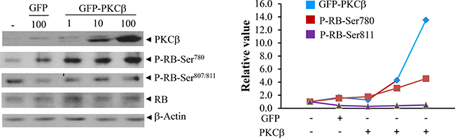 Reintroduction of human PKCβ in cultured cells restores RB (Ser780) phosphorylation with no significant effect on its abundance.