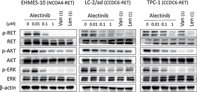Alectinib inhibits the phosphorylation of NCOA4-RET protein in vitro.