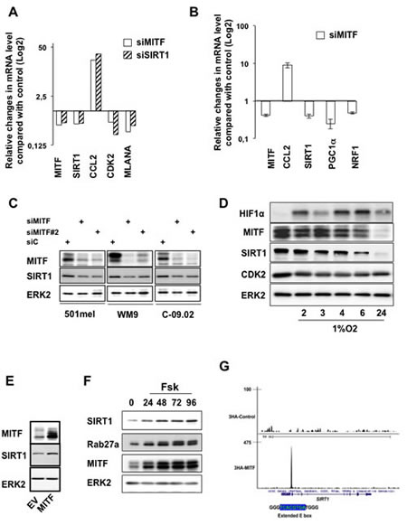 MITF regulates SIRT1 expression at the transcriptional level.