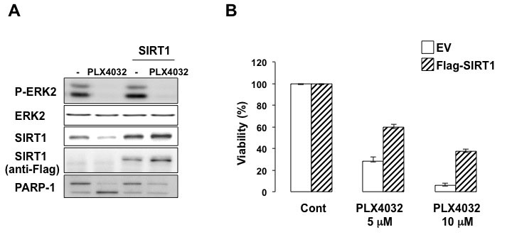 SIRT1 contributes to PLX4032 resistance.