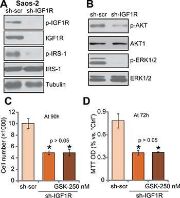IGF1R knockdown by targeted shRNA abolishes GSK1904529A's activity in Saos-2 cells.