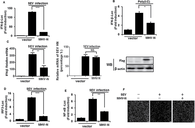 MHV N protein inhibits SEV-induced IFN-β production.