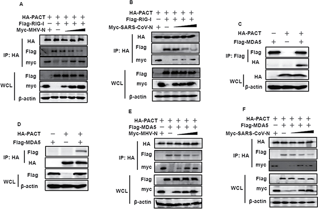 MHV and SARS-CoV N proteins inhibit the interaction between PACT and RIG-I/MDA5.