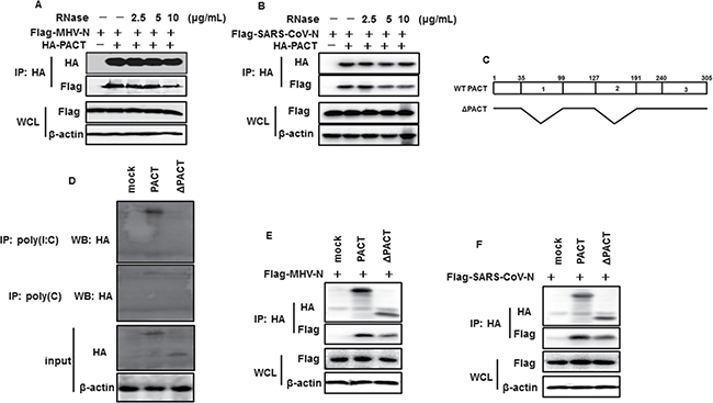 RNase treatment attenuates interactions between PACT and N proteins of MHV and SARS-CoV.