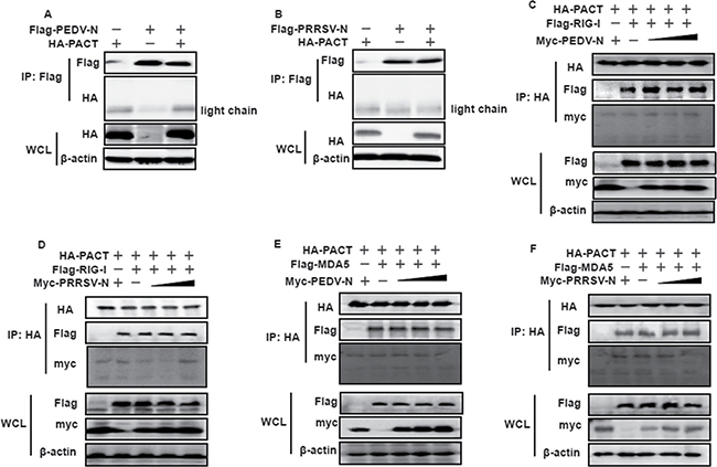 PEDV and PRRSV N proteins do not counteract PACT.