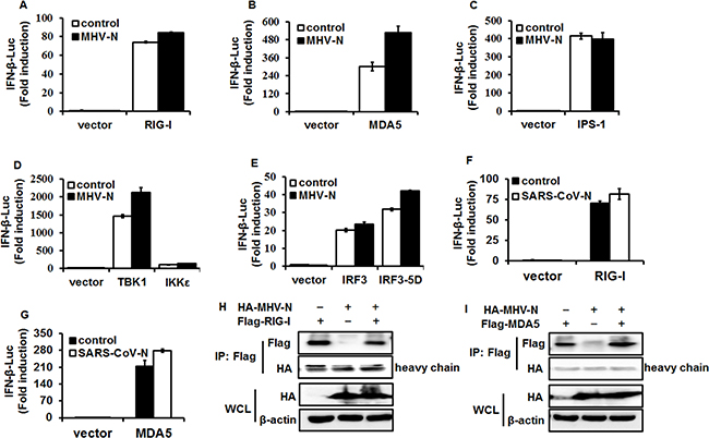 MHV N protein antagonizes IFN-β production by targeting molecule(s) upstream of RIG-I/MDA5.