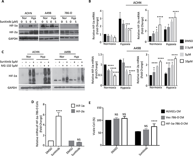Sunitinib downregulates HIF-1α under normoxia or hypoxia.