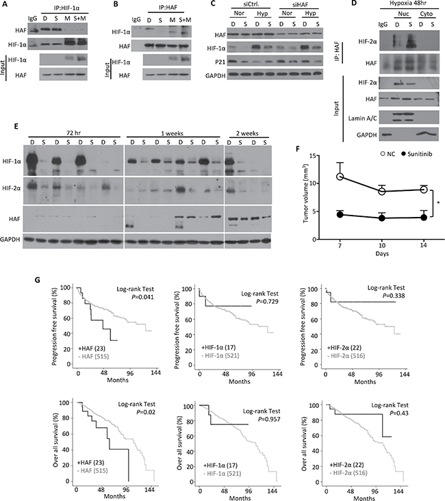 Characterization of the HAF-HIF-1α interaction under sunitinib treatment.