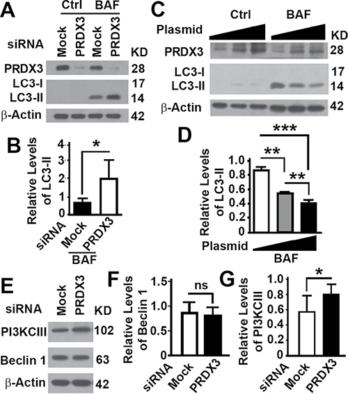 Impacts of PRDX3 protein on autophagy flux.
