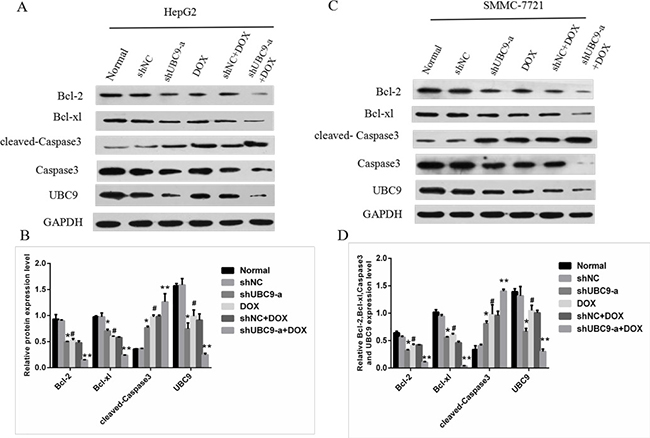 The effect of UBC9 on apoptosis-related proteins in HCC cells.