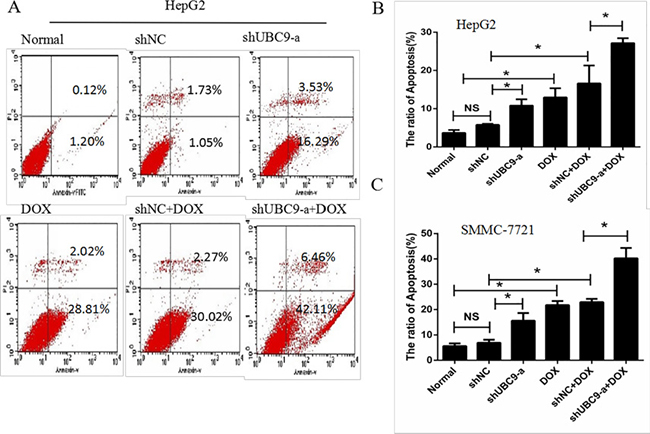 Down-regulation of UBC9 enhanced DOX-induced apoptosis in HCC cells.
