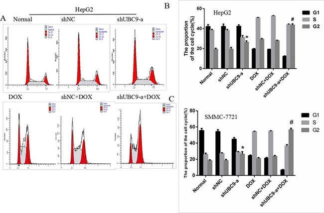 Down-regulation of UBC9 improved the DOX-induced cell cycle arrest of HCC cells.