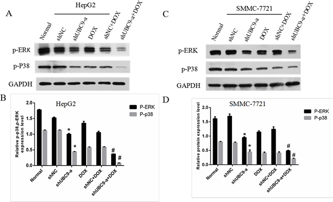 UBC9 knockdown influenced the expression and activation of multiple downstream genes.