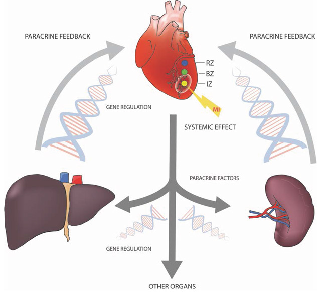 A variety of organ systems are involved in the coordination of the organism´s response to myocardial infarction by the production and release of paracrine factors.