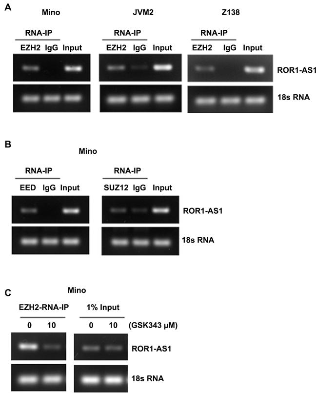 Analysis of interaction between lncRNA ROR1-AS1 and PRC2 complex.