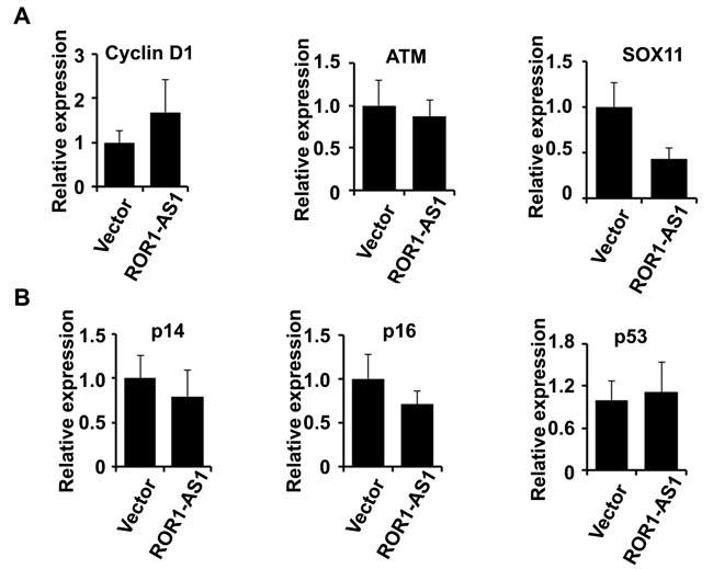 The effect of lncRNA ROR1-AS1 overexpression on transcription of key genes in MCL .