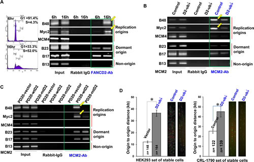 Cells Carrying a Low Basal Level of FANCD2 Monoubiquitination Show a low Amount of Origin DNA associated with MCM2 and a Decreased Rate of Origin-firing.