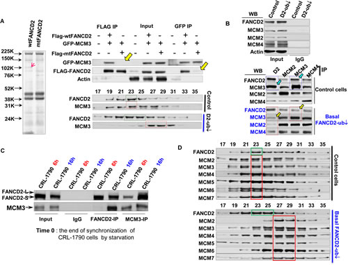 Normally Monoubiquitinated FANCD2 Interacts with MCM3 in an S-phase specific manner and Maintains the Optimal Function of MCM2-7-Containing Protein Complex.