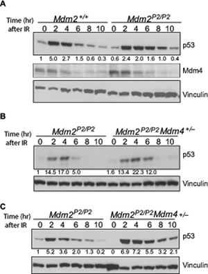 Mdm4 cooperates with Mdm2 in p53 degradation.