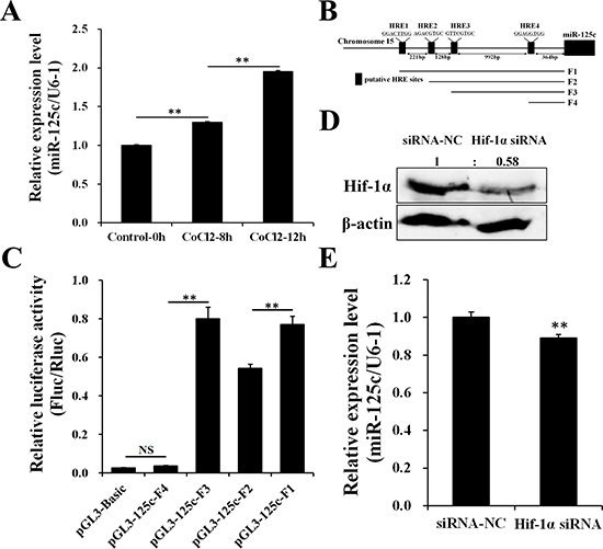 Hif-1α contributes to the transcription of miR-125c.