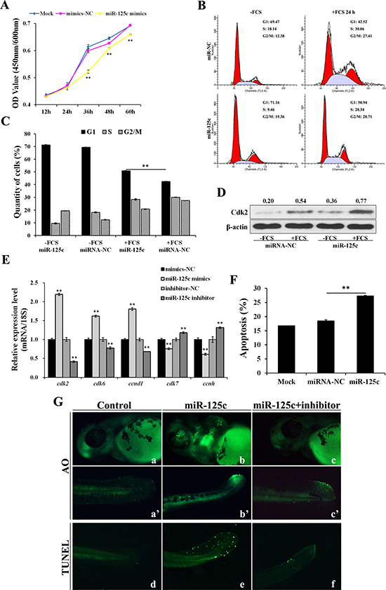 miR-125c represses cell proliferation through cell-cycle arresting at G1 phase and induces cell apoptosis.