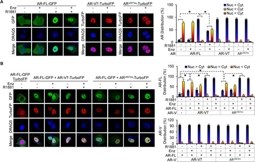 AR-V facilitates AR-FL nuclear localization in the absence of androgen and mitigates enzalutamide inhibition of androgen-induced AR-FL nuclear localization.