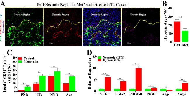Metformin inhibited angiogenesis in peri-necrotic region by impeding HIF-1α-induced expressions of pro-angiogenic factors.