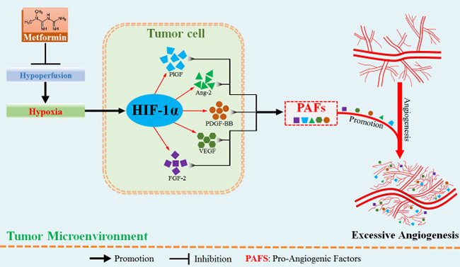 Metformin administration suppressed hypoxia-induced abnormally excessive angiogenesis by ameliorating tumor hypoperfusion.