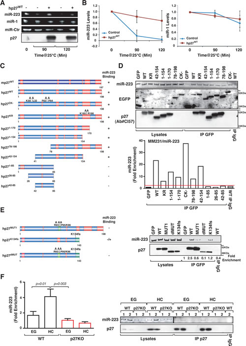 p27 binds and stabilizes mature miR-223.