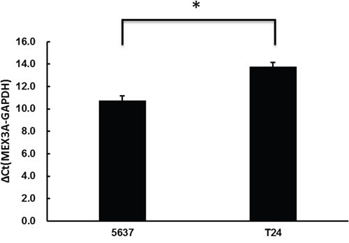 hMex-3A mRNA expression by real-time quantitative PCR in 5637 and T24 cells.
