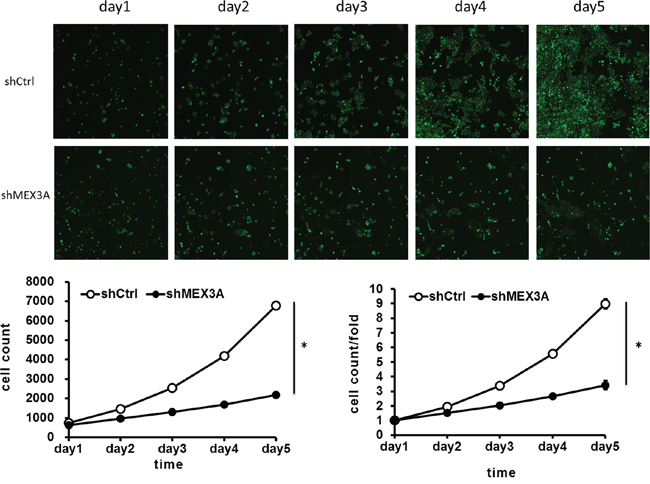 hMex-3A knockdown inhibits 5637 cell growth as compared with control group.