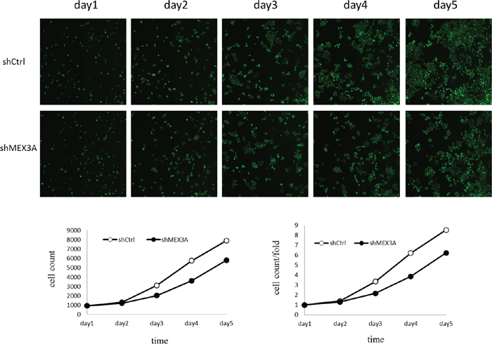 The effect of hMex-3A knockdown on T24 cell growth as compared with control group.