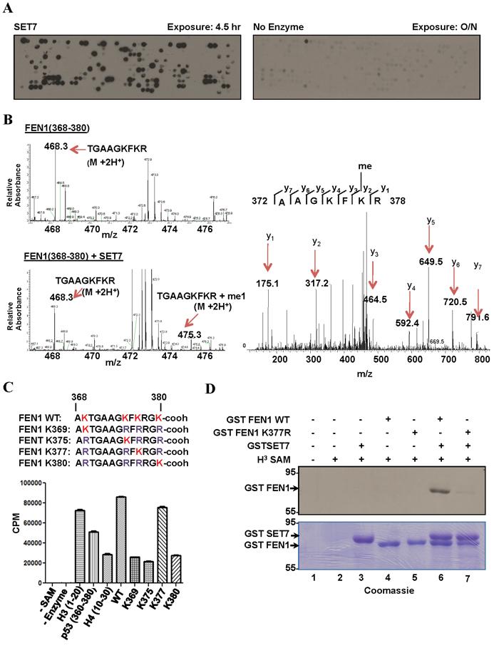 SET7 methylates FEN1 at K377.