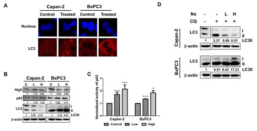 Nx treatment inhibits autophagy in human pancreatic cancer cell lines.