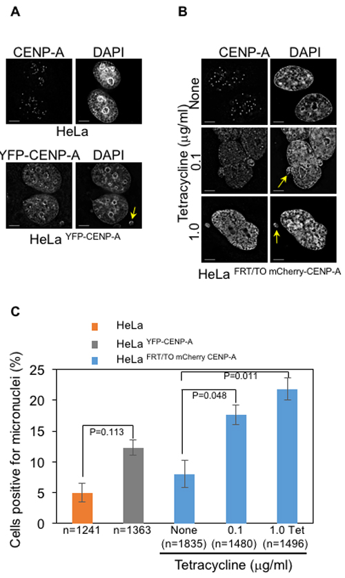 CENP-A overexpression contributes to increased incidence of micronuclei in human cells.
