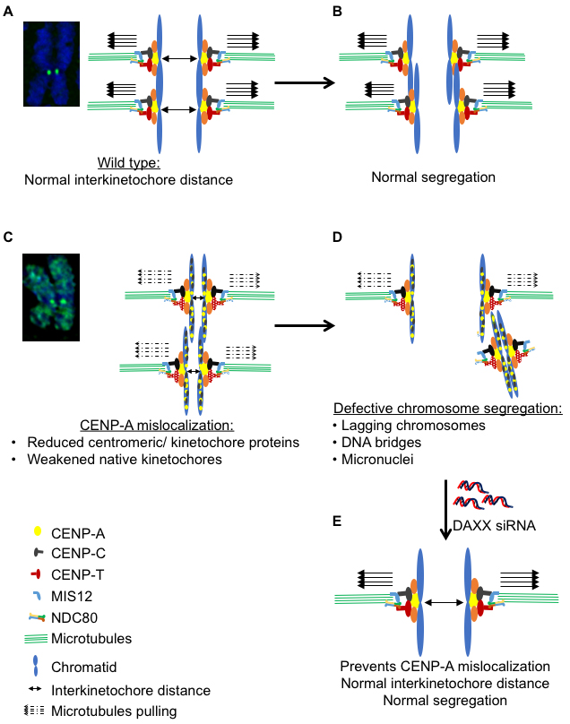 Model illustrating mislocalization of CENP-A contributes to a CIN phenotype.