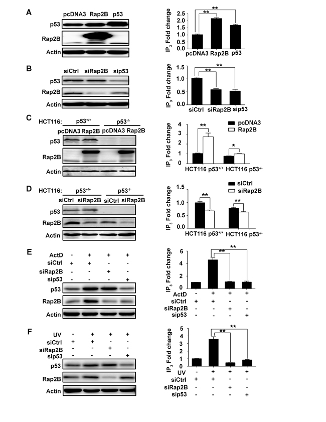 p53 can increase the intracellular IP3 level through Rap2B in U2OS and HCT116 cells.