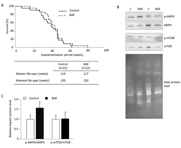 Brown algae extract (BAE) supplementation showed no significant effect on life span and activation of the key ageing pathway mTOR, but tended to increase AMPK signaling in the liver of mice fed a high fat diet.